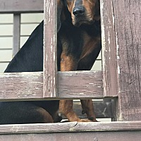Adopt A Pet :: Brody - Washington DC, DC