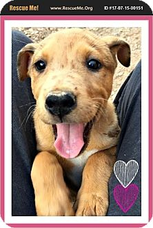 American Bulldog/Labrador Retriever Mix Puppy for adoption in Phoenix, Arizona - Jewel