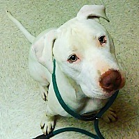 Adopt A Pet :: Chance - Southbury, CT