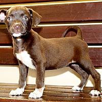 Labrador Retriever/Terrier (Unknown Type, Medium) Mix Puppy for adoption in Southbury, Connecticut - Sansa