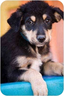Airedale Terrier/German Shepherd Dog Mix Puppy for adoption in Portland, Oregon - Anthony