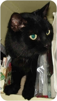 Domestic Shorthair Cat for adoption in Mt. Prospect, Illinois - Lava