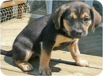 Collie/Hound (Unknown Type) Mix Puppy for adoption in Mt. Prospect, Illinois - Lola