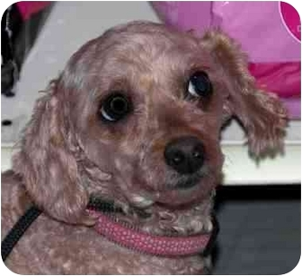 Poodle (Toy or Tea Cup) Dog for adoption in Loudonville, New York - Frieda