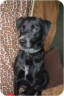 Labrador Retriever Mix Dog for adoption in Lewisville, Indiana - Scotty Dog