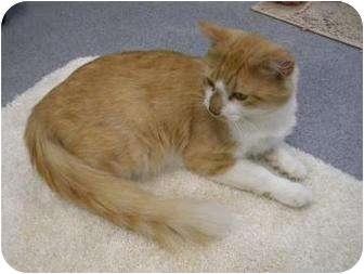 Domestic Mediumhair Cat for adoption in Gainesville, Florida - Mueller