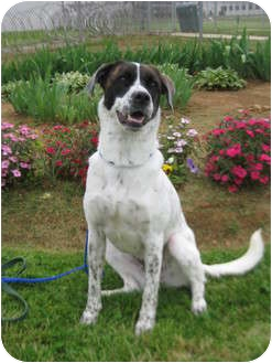 Setter (Unknown Type)/Boxer Mix Dog for adoption in LaGrange, Kentucky - Robyn