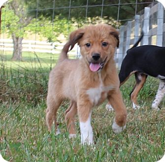Collie Mix Puppy for adoption in Hagerstown, Maryland - Omar