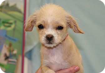 Cairn Terrier Mix Puppy for adoption in Westminster, Colorado - Piglet