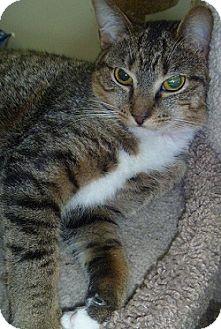 Domestic Shorthair Cat for adoption in Hamburg, New York - Penny Lee
