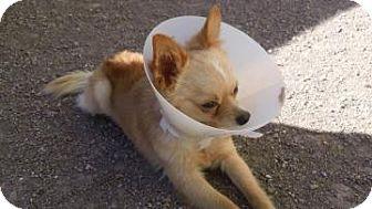 Pomeranian Mix Dog for adoption in Tucson, Arizona - Quincy