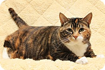 Domestic Shorthair Cat for adoption in Bellingham, Washington - Caly