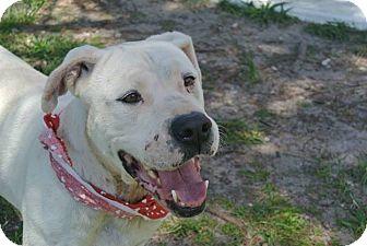American Bulldog Mix Dog for adoption in Pawling, New York - Custard
