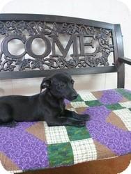 Labrador Retriever Mix Puppy for adoption in East Hartford, Connecticut - Molly meet me 8/23