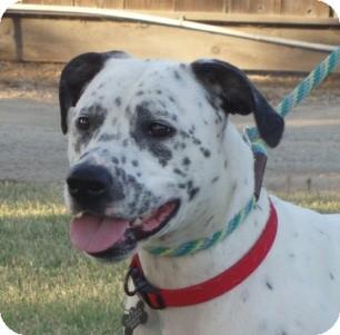 Dalmatian Mix Dog for adoption in Turlock, California - Emma
