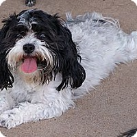 Adopt A Pet :: Cookie ~ Pure breed Miki - San Angelo, TX