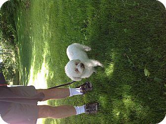 Bichon Frise/Miniature Poodle Mix Dog for adoption in Naugatuck, Connecticut - Aleah
