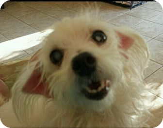 Maltese Dog for adoption in Mary Esther, Florida - Brindie