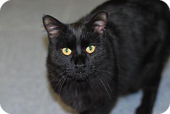 Domestic Mediumhair Cat for adoption in Buffalo, Wyoming - Triton