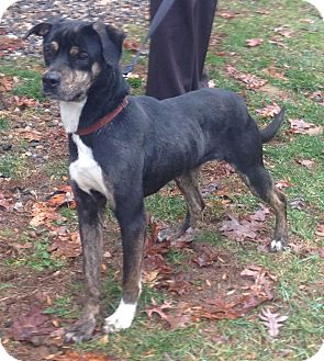 Shepherd (Unknown Type) Mix Dog for adoption in Bloomfield, Connecticut - Jingle Bell