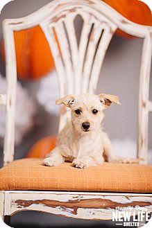 Norfolk Terrier/Cairn Terrier Mix Puppy for adoption in Portland, Oregon - Lexi