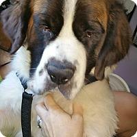 Adopt A Pet :: Maci - Broomfield, CO