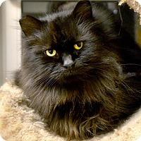 Adopt A Pet :: Ebony - Byron Center, MI