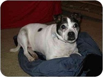 Terrier (Unknown Type, Small) Mix Dog for adoption in Philomath, Oregon - Reggie