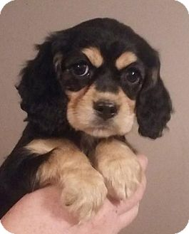 Cocker Spaniel/Beagle Mix Puppy for adoption in SOUTHINGTON, Connecticut - Ellie