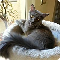 Adopt A Pet :: Prince William - Tempe, AZ
