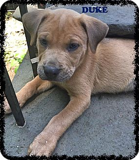 Labrador Retriever/Pit Bull Terrier Mix Puppy for adoption in Valley Stream, New York - Duke