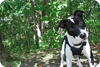 Terrier (Unknown Type, Medium) Mix Dog for adoption in New Castle, Pennsylvania - Bolt