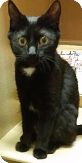 Domestic Shorthair Cat for adoption in North Haven, Connecticut - Landry