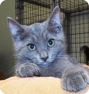 Domestic Shorthair Kitten for adoption in Grants Pass, Oregon - Joyce