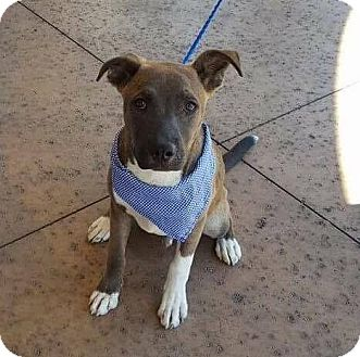 Shepherd (Unknown Type) Mix Puppy for adoption in Las Vegas, Nevada - Reno