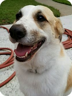 Great Pyrenees Dog for adoption in Kyle, Texas - Anna now Annie