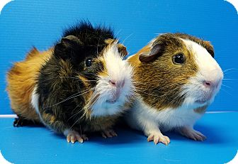 Guinea Pig for adoption in Lewisville, Texas - Chekov and Sulu