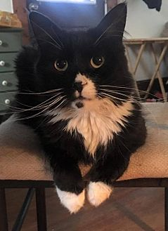 Domestic Shorthair Cat for adoption in Toms River, New Jersey - Olivia