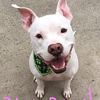 American Pit Bull Terrier Mix Dog for adoption in Lincoln, California - Kylie-ADOPTION FEE SPONSORED!