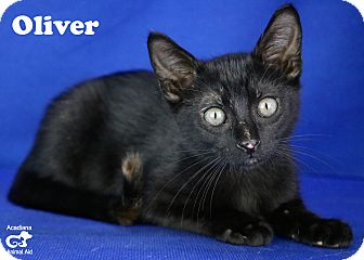Domestic Shorthair Kitten for adoption in Carencro, Louisiana - Oliver
