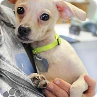 Adopt A Pet :: Oboe - Yukon, OK
