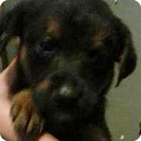 Adopt A Pet :: Rottie/Hound mix pups - Pottstown, PA