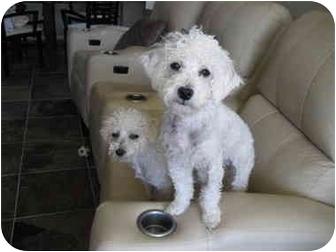 Bichon Frise Puppy for adoption in La Costa, California - Megan and Morgan