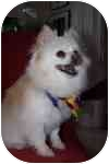 Pomeranian Dog for adoption in Avon, New York - Chip
