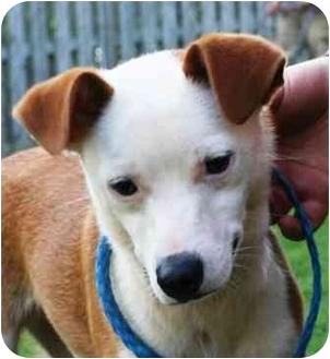 Italian Greyhound/Rat Terrier Mix Puppy for adoption in Seneca, South Carolina - APOLLO