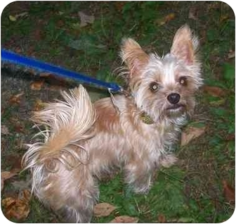 Yorkie, Yorkshire Terrier Mix Dog for adoption in Oak Ridge, New Jersey - Shorty