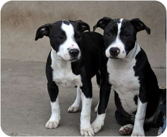 American Staffordshire Terrier/Terrier (Unknown Type, Medium) Mix Puppy for adoption in Sacramento, California - Anna PUP