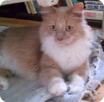 Domestic Longhair Cat for adoption in Warren, Michigan - Angus