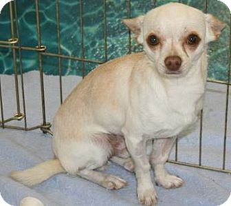 Chihuahua Dog for adoption in House Springs, Missouri - Drake