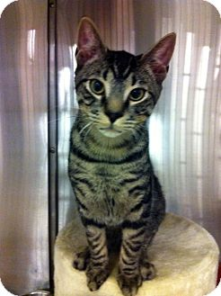 Domestic Shorthair Cat for adoption in Warminster, Pennsylvania - Maple